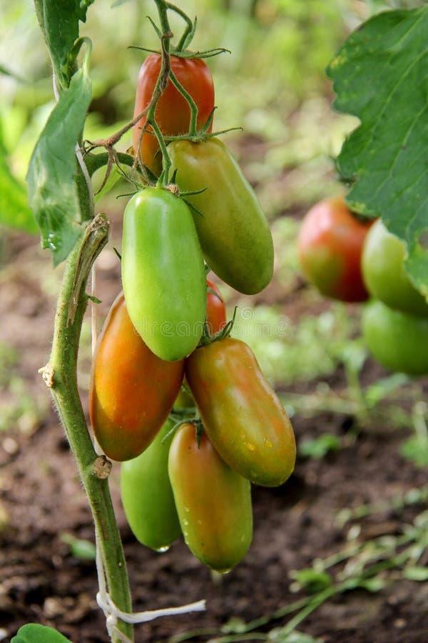 Pomodori nel giardino fotografia stock libera da diritti