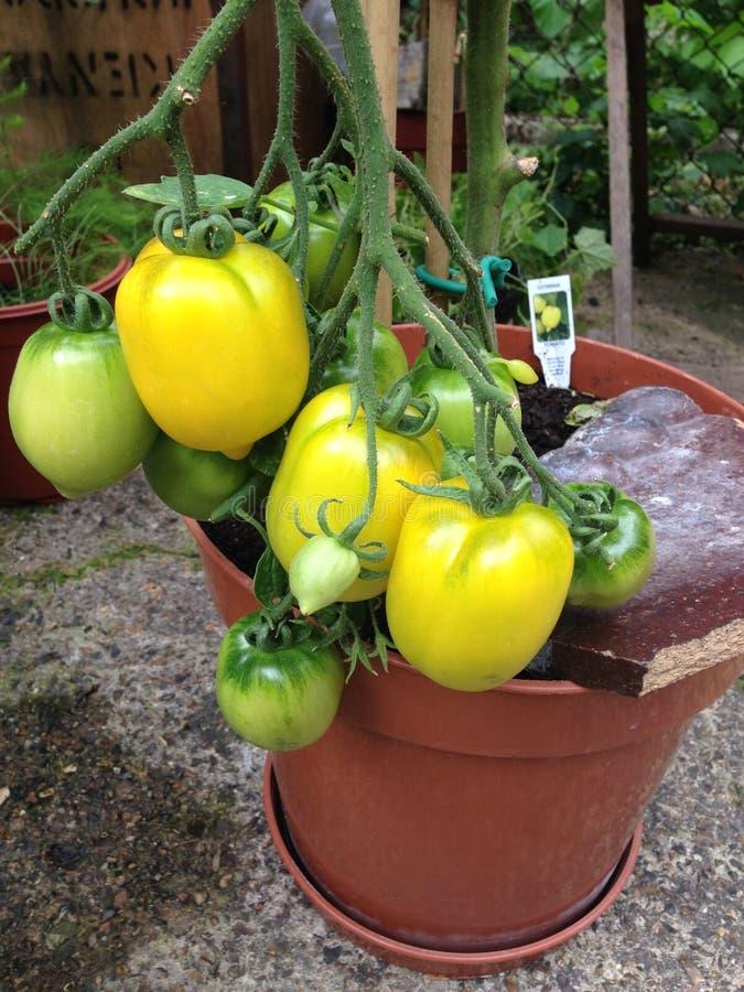 Pomodori nostrani di forma del limone di giallo del giardino che crescono all'aperto sulla vite fotografie stock