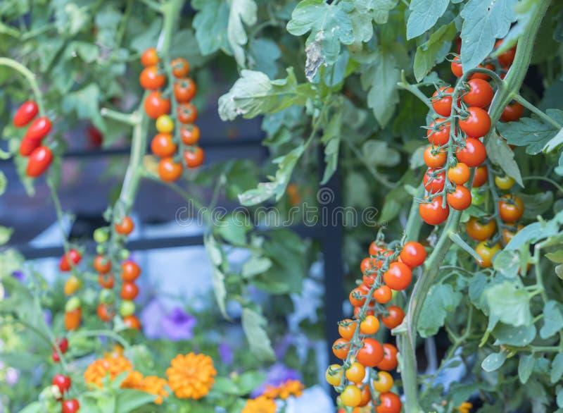 Pomodori pronti nel giardino immagine stock
