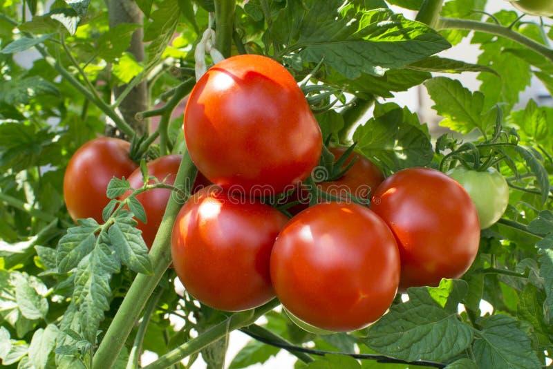Pomodori rossi sulla vite immagini stock