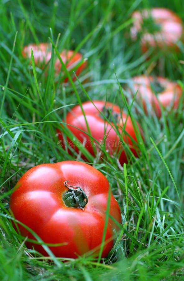 Pomodori su erba immagini stock libere da diritti