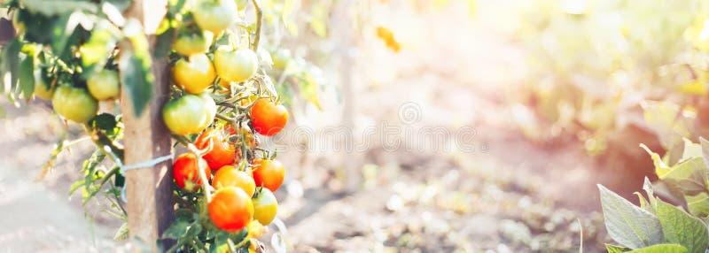 pomodori su un cespuglio in un maturo rosso dell'orto domestico e verde fotografia stock libera da diritti