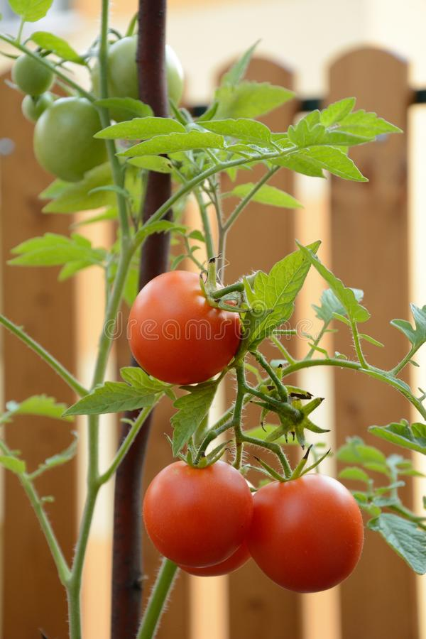 Pomodori sul gambo fotografia stock libera da diritti