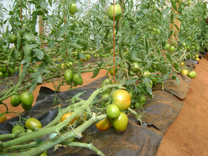 Pomodori in una serra nel Kenya immagine stock libera da diritti