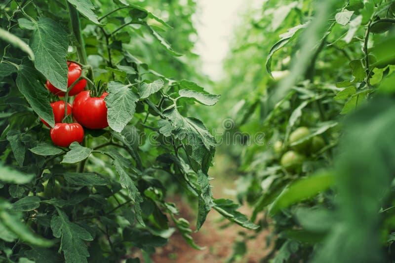 Pomodori in una serra orticoltura verdure fotografie stock libere da diritti