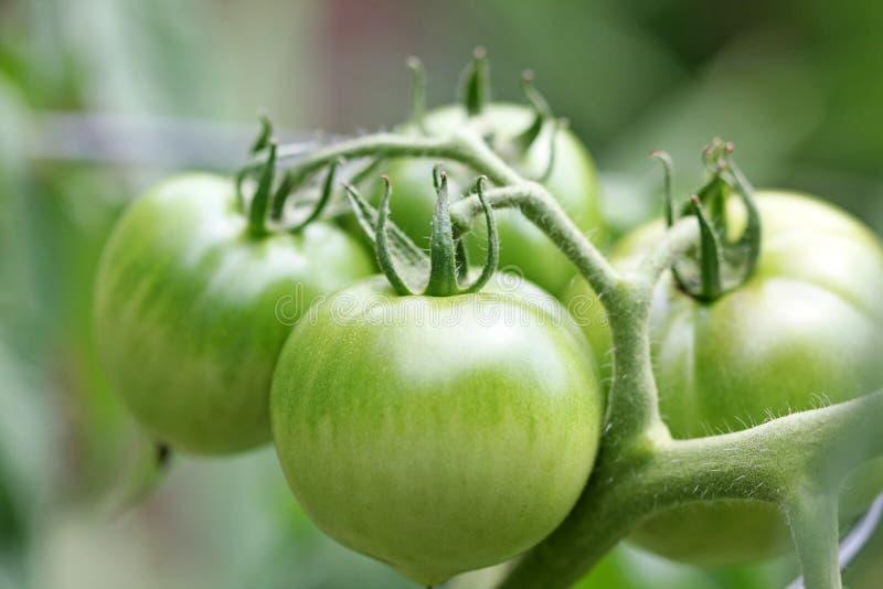 Pomodori verdi fotografie stock
