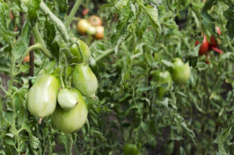 Pomodori verdi Pomodoro non maturo che cresce sulla vite fotografie stock libere da diritti