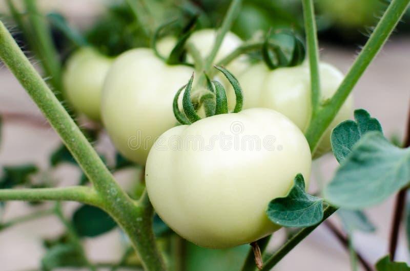 Pomodoro bianco fotografia stock