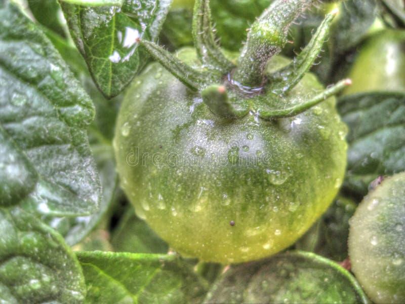 Pomodoro con i waterdrops fotografia stock libera da diritti