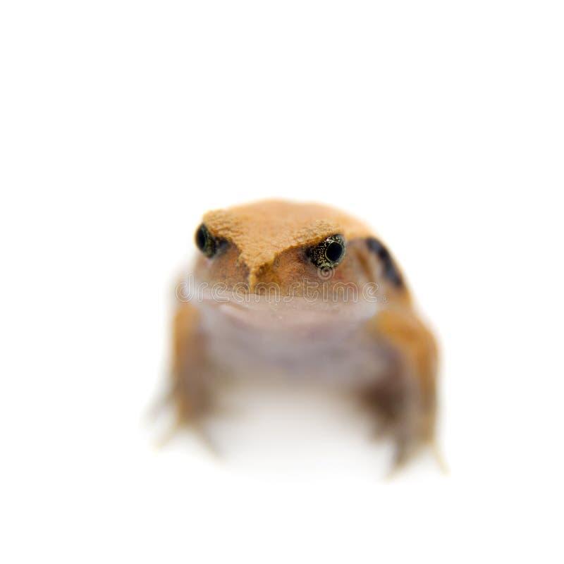 Pomodoro Frogling del Madagascar isolato su bianco immagini stock