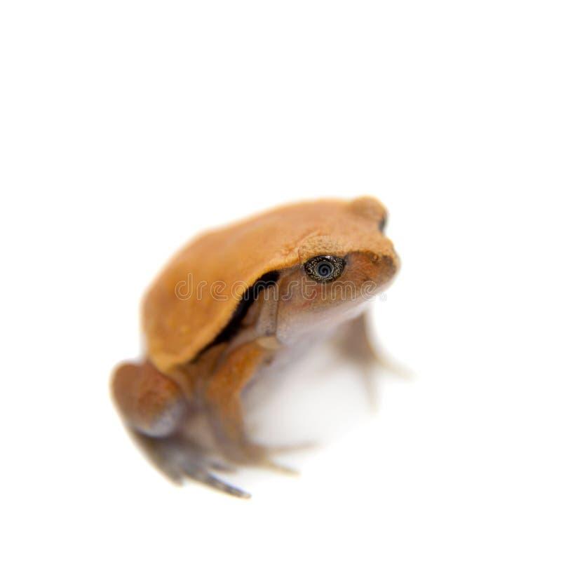 Pomodoro Frogling del Madagascar isolato su bianco fotografia stock