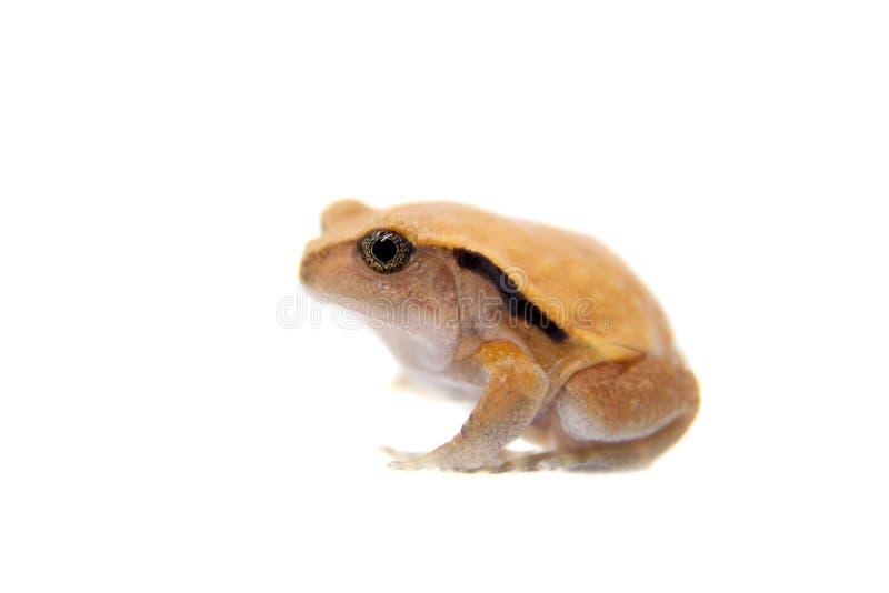 Pomodoro Frogling del Madagascar isolato su bianco fotografia stock libera da diritti