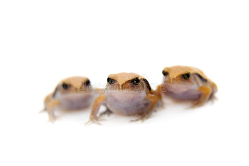 Pomodoro Frogling del Madagascar isolato su bianco immagine stock libera da diritti