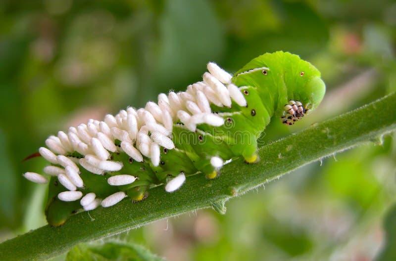 Pomodoro Hornworm con le uova della vespa immagine stock libera da diritti