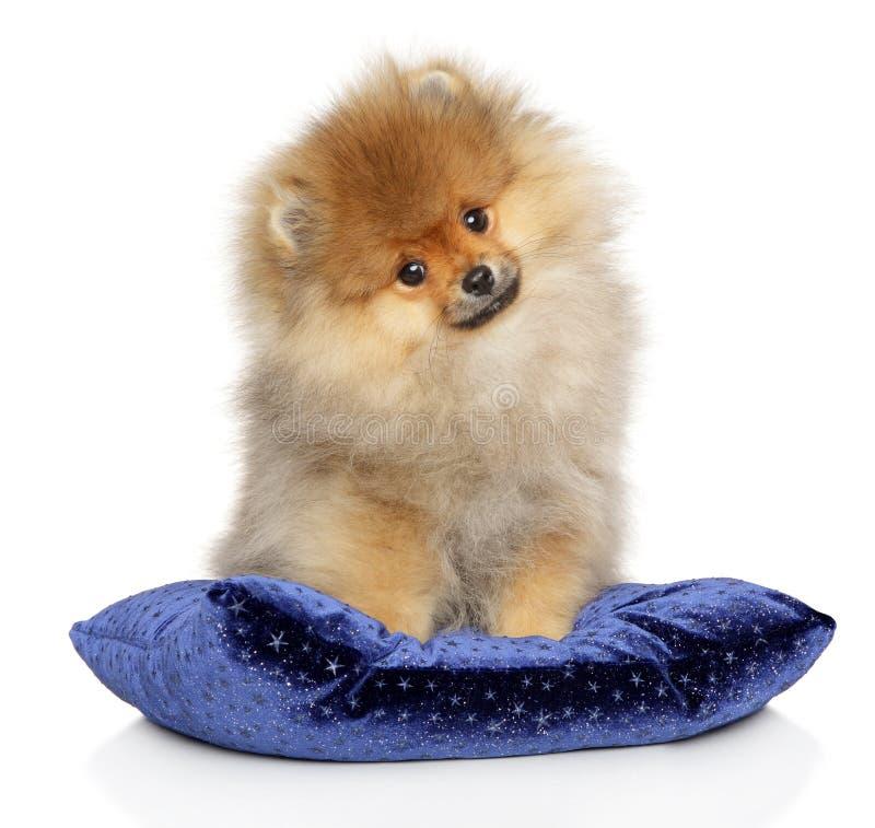 Pomorski Spitz szczeniak na błękitnej poduszce zdjęcie stock