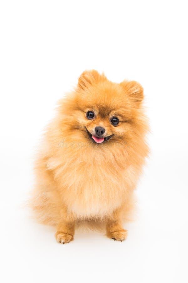 Pomorzanka pies odizolowywający na bielu obraz royalty free