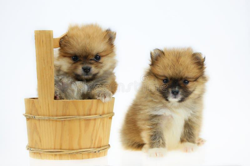 Pomorzanka pies odizolowywający z tła na białym tle, zwierzę domowe w rolnym i pomeranian psie w zabawki grupie ponieważ sizing m zdjęcia stock