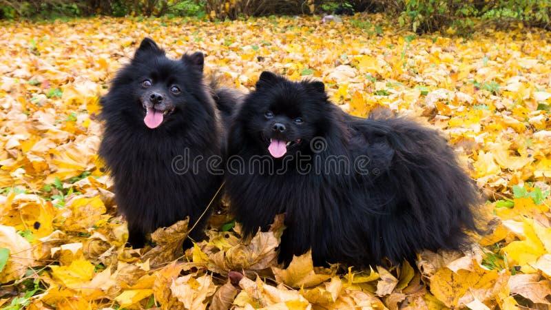 Pomorzanki spitz jesieni sezonu psi niemieccy zwierzęta domowe obrazy royalty free