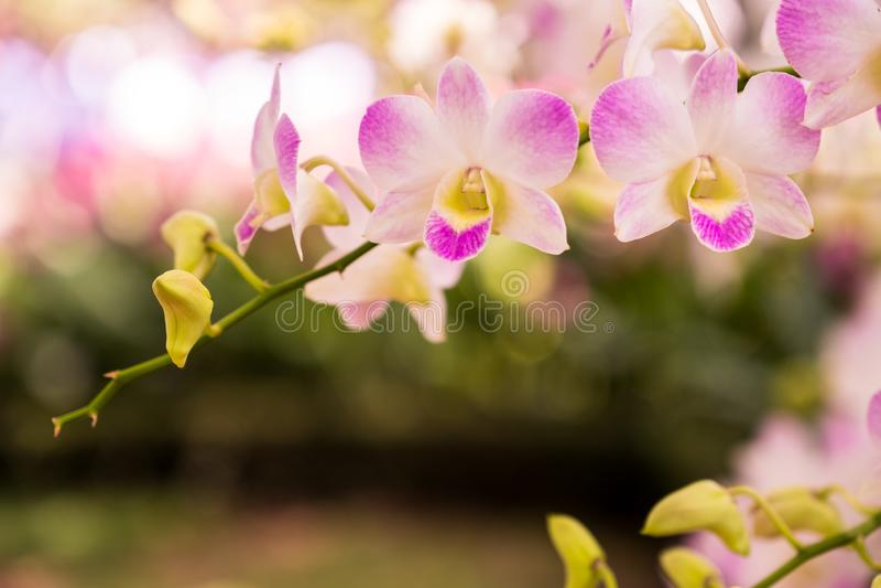Pompadour do Dendrobium da orquídea foto de stock