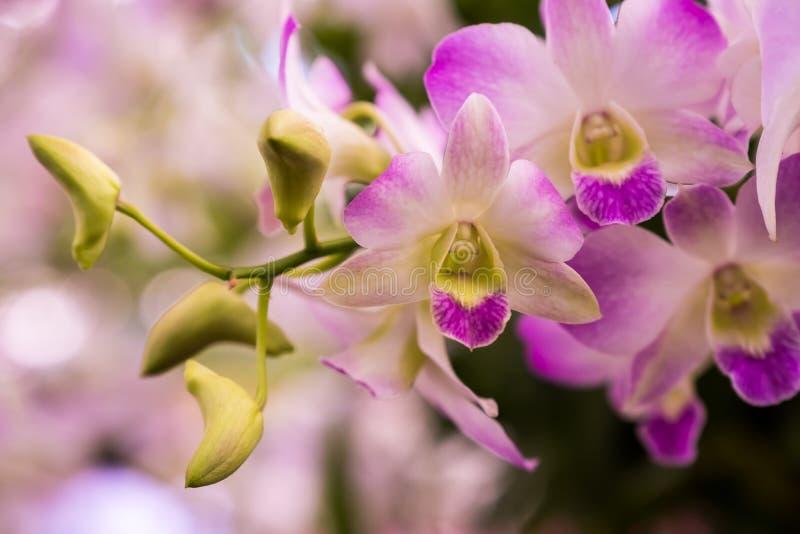 Pompadour do Dendrobium da orquídea imagens de stock royalty free