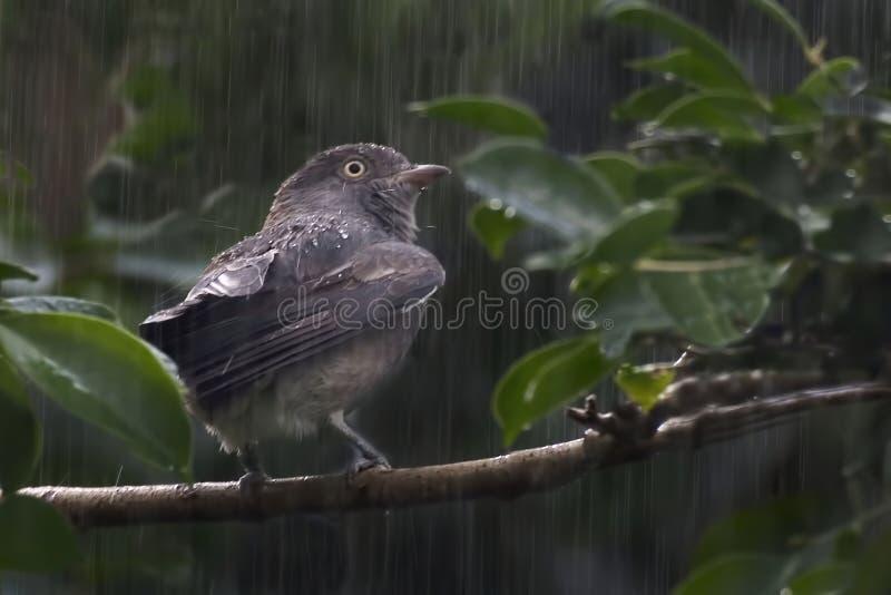 Pompadour fêmea Cotinga, punicea de Xipholena, na chuva imagem de stock royalty free