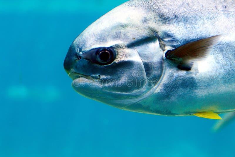 Download Pompano рыб стоковое изображение. изображение насчитывающей свет - 4550769