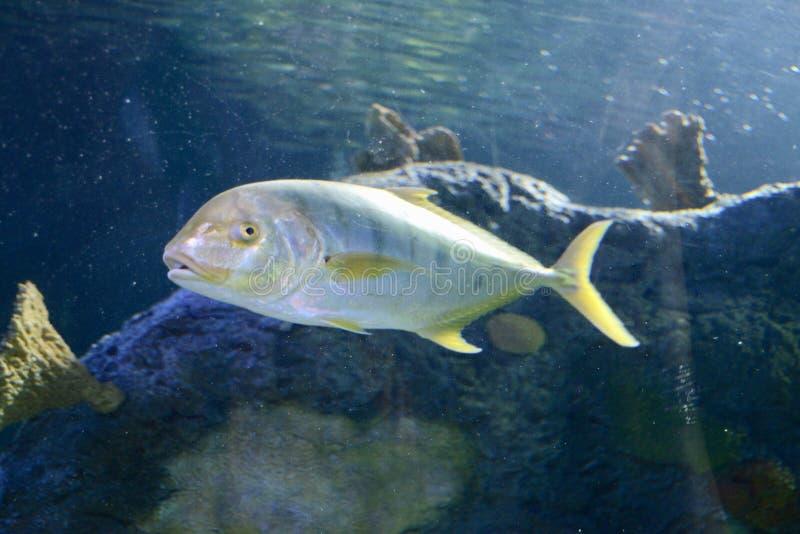 Pompano Fish in the Ocean royalty free stock photo