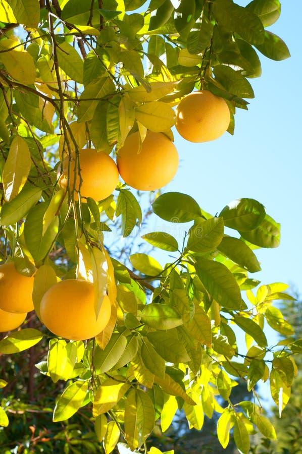 Pompelmo che cresce organico nel cortile posteriore del sud di California nell'orario invernale con Sunny Day, fondo del cielo bl fotografie stock