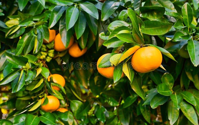 Pompelmo su un albero fotografia stock libera da diritti