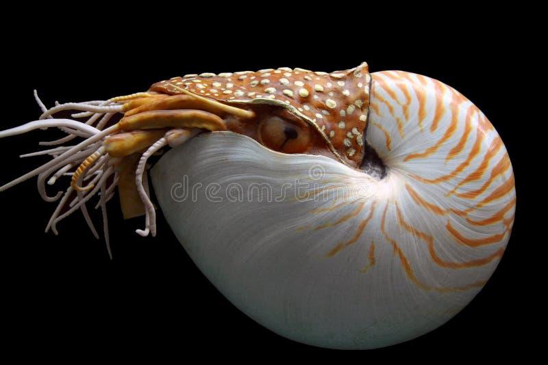 Pompilus del Nautilus fotografia stock libera da diritti