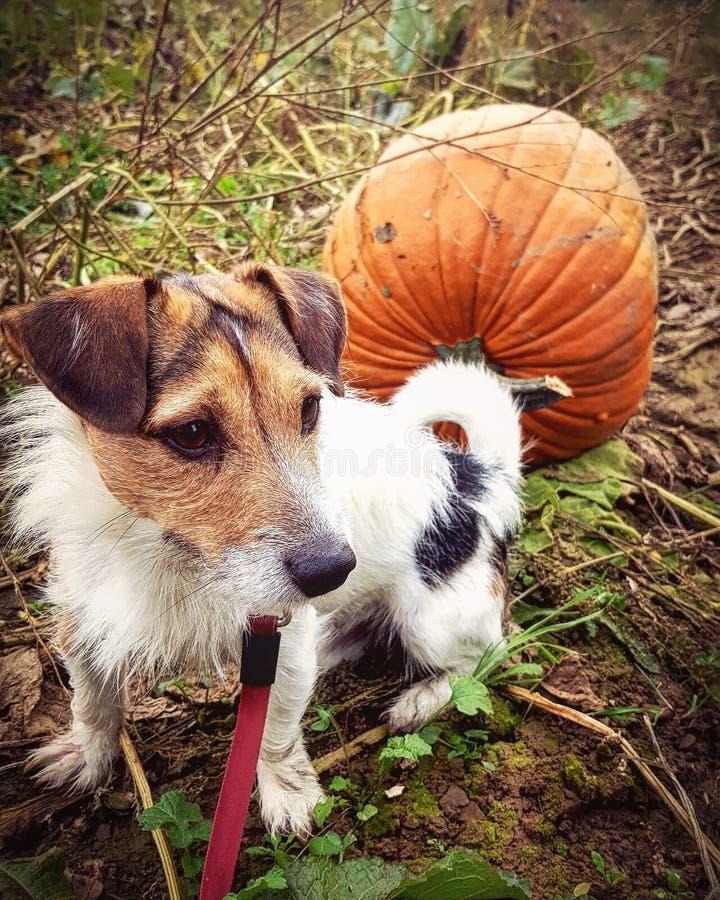 Pompoen en hond stock afbeeldingen