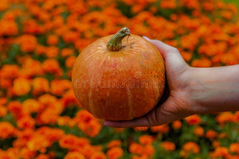 Pompoen in handen stock foto
