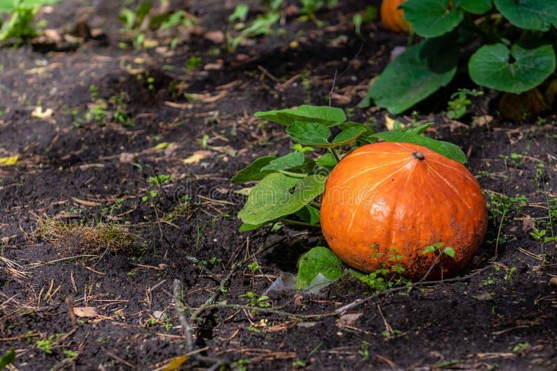 Pompoen het groeien in de moestuin Groeiende pompoenen Pompoeninstallatie - Beeld stock foto