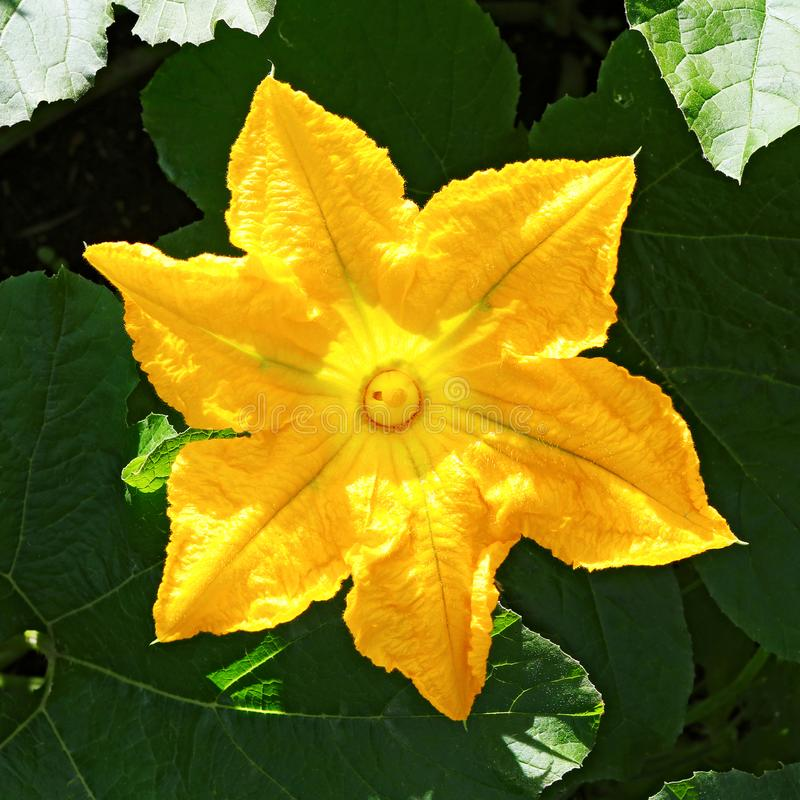 Pompoen, Pompoeninstallatie Pompoen, courgette, pompoen, pompoen gele bloem met het groene bladeren tot bloei komen Groente als a royalty-vrije stock afbeelding