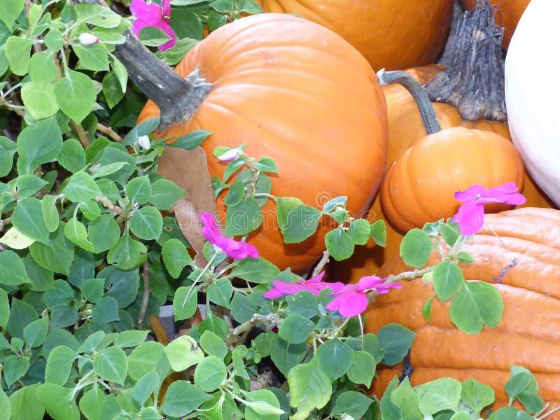 Pompoenen voor Oogst stock fotografie