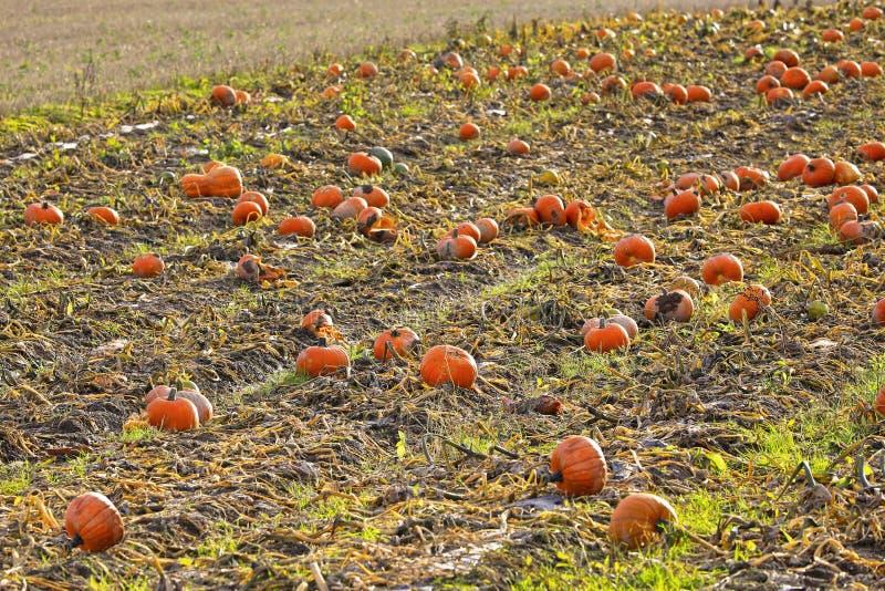 Pompoenveld in late herfst royalty-vrije stock foto