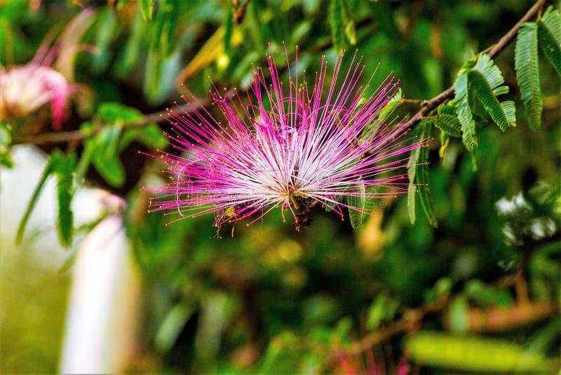 Pompom da flor, imagens de stock royalty free