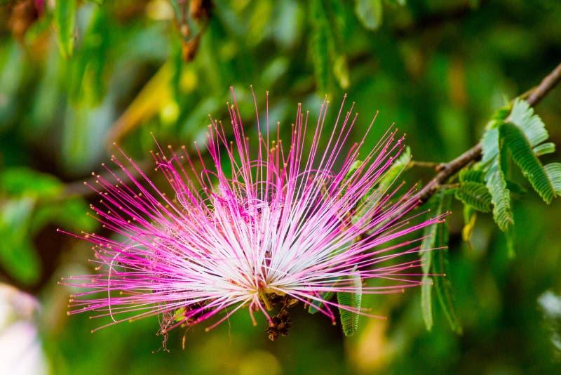Pompom da flor, 2 fotos de stock