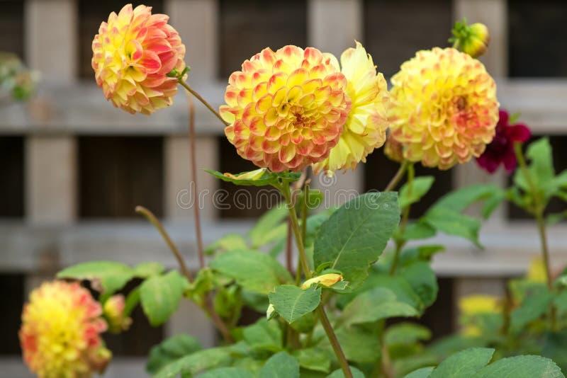 Pompom-Dahlie blüht in der gelben Farbe, die im Garten blüht stockbild