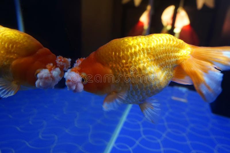 Pompom Goldfish looking at mirror stock image