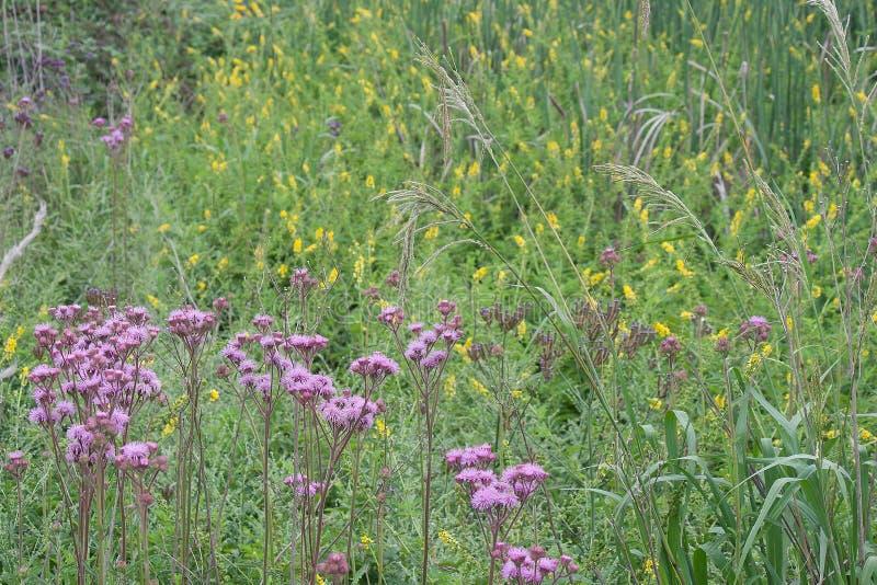 POMPONÓW kwiaty I DŁUGA trawa obraz stock