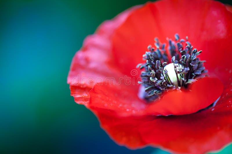 红色ponceau花