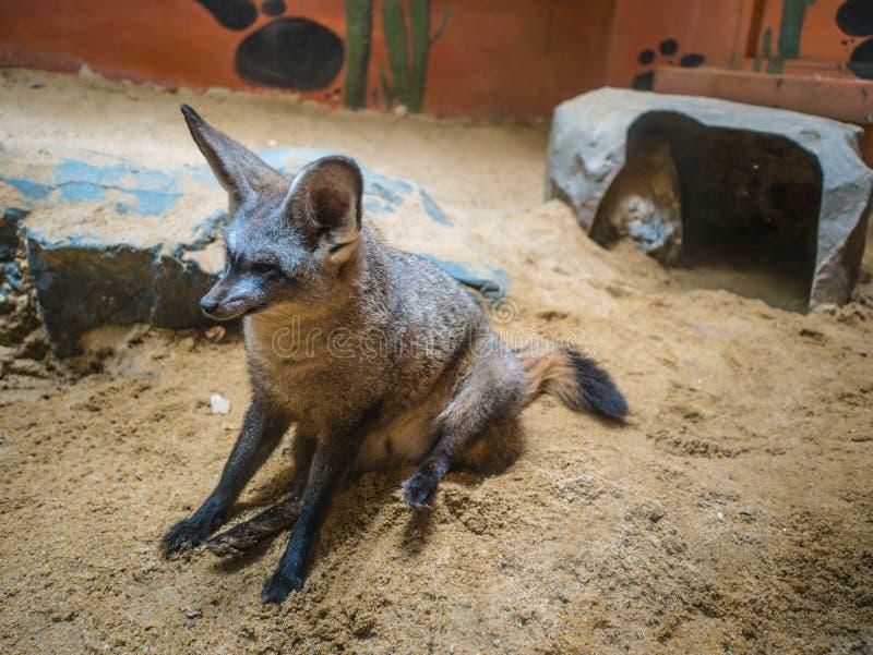 Poncez le renard sur le plancher de sable dans le zoo Bangkok Thaïlande, renard du ` s de ppell de ¼ de RÃ photo stock