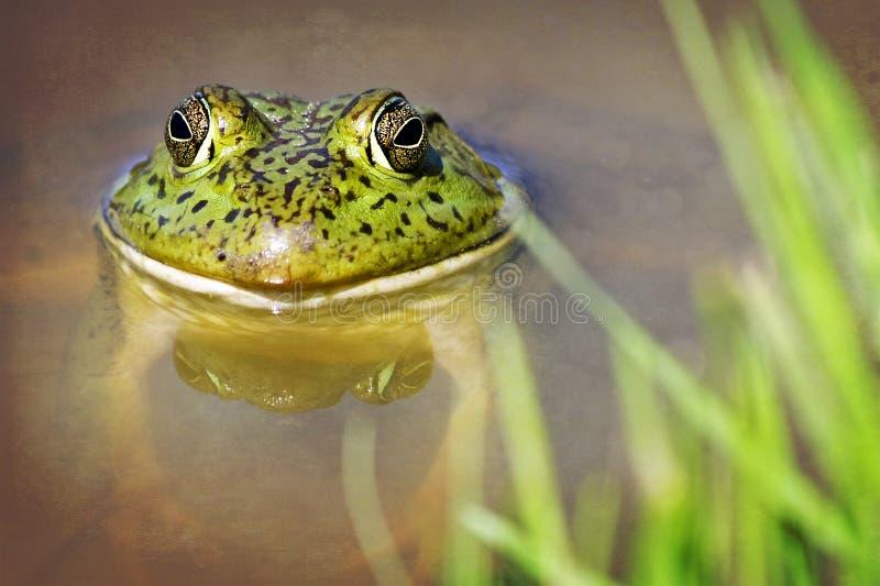 pond жаба стоковая фотография
