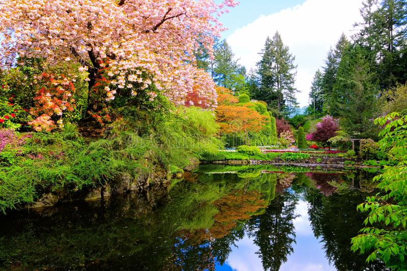 Pond with beautiful flowering spring trees surrounding. Pond with reflections in a beautiful garden with flowering trees during spring. Butchart Gardens stock photo
