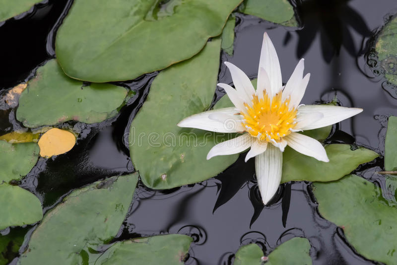 Pond with blooming water lilies 2. Pond in the garden with single white water lily blooming stock image
