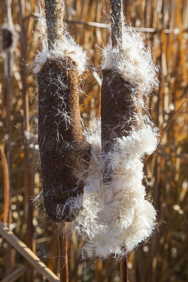 Free Pond Cattail Dried Seed Royalty Free Stock Photography - 38494577