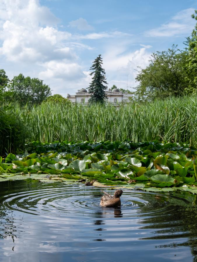 Pond with duck and ducklings at the Botanic Garden of the Jagiellonian University, Krakow, Poland. Duck and ducklings paddling in a pond at the Botanic Garden stock images