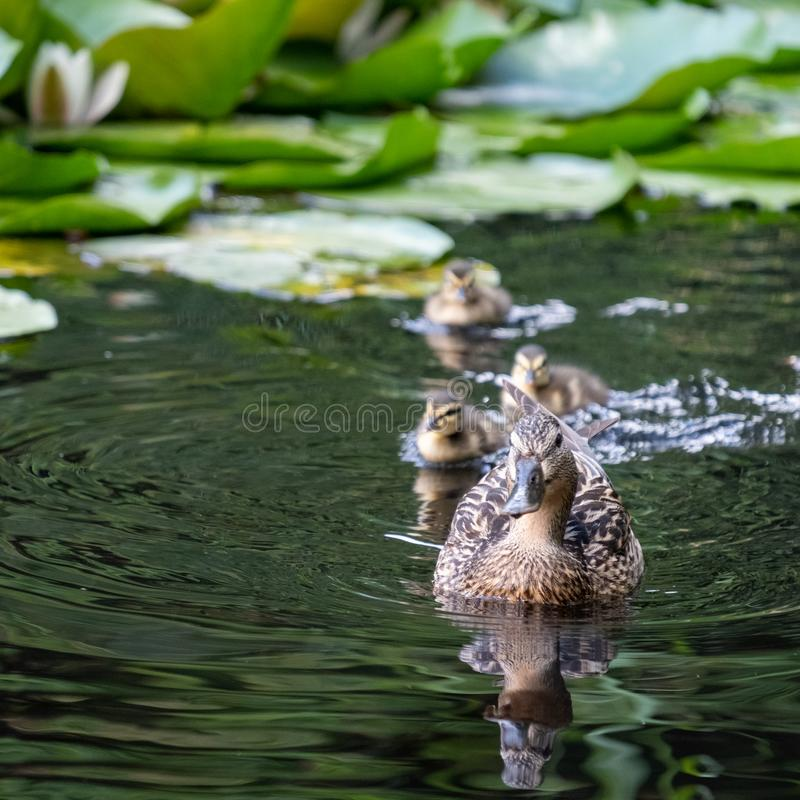 Pond with duck and ducklings at the Botanic Garden of the Jagiellonian University, Krakow, Poland. Pond with duck and ducklings paddling towards the camera at stock photography