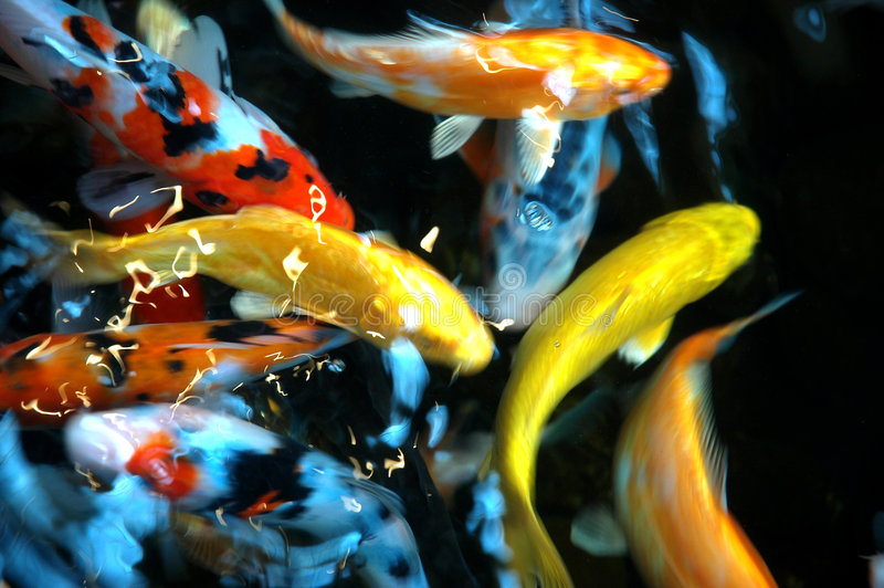 pond fish royalty free stock images